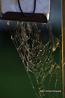 Spyder web bathing in the Sun.